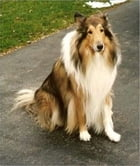 Collie Training for Beginners by Anna Fitzgerald