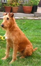 Irish Terriers for Beginners by Mildred Doerkson