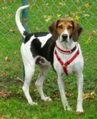 American Foxhounds for Beginners by Marty Klein