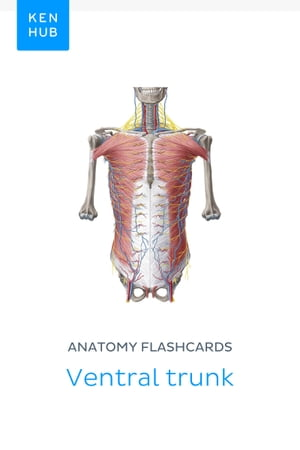 Anatomy flashcards: Ventral trunk: Learn all bones, muscles, arteries, veins, nerves and ligaments on the go