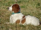 Red and White Setters for Beginners by Larry Higgins