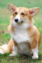 Cardigan Welsh Corgis for Beginners by Anna Fitzgerald