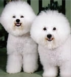 Bichon Frise for Beginners by Jack Penn