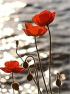 Growing Poppies For Beginners by Jane Greeley