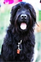 Black Russian Terriers for Beginners by Samantha Wilson
