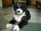 Portuguese Water Dogs for Beginners by Larry Higgins