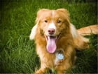 A Beginners Guide to Nova Scotia Duck Tolling Retrievers by Lindsey Hudgens