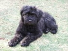 Bouvier des Flandres for Beginners by Michelle Ashley
