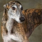 A Beginners Guide to Greyhounds by Terence Bellafiore