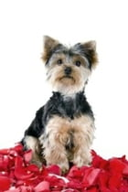 A Beginners Guide to Yorkshire Terriers by Marvin Starkey