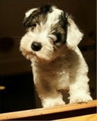 Sealyham Terriers for Beginners by Alice Marnier