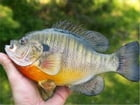 A Beginners Guide to Bluegill Fishing by Reema McGinnity