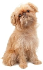 A Beginners Guide to Brussels Griffons by Frank Washington