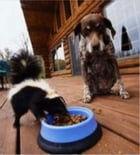 How to Get Rid of Skunk Smell on Dogs by Bernie Riley