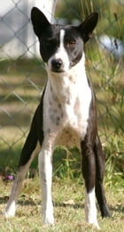 Basenjis for Beginners by Marty Klein