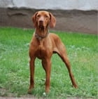 A Beginners Guide to Vizslas by John Silver