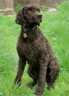 Irish Water Spaniels for Beginners by Mildred Doerkson