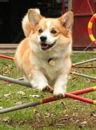 A Beginners Guide to Pembroke Welsh Corgis by Ryder Travolta