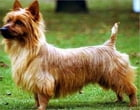 A Beginners Guide to Australian Terriers by Harry Roosevelt
