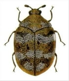 A Crash Course on How to Get Rid of Carpet Beetles by Winston Thomas