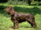 Field Spaniels for Beginners by Alexandria King