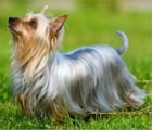 Silky Terriers for Beginners by Estella Scott