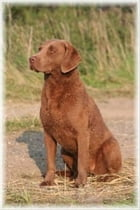 A Beginners Guide to Chesapeake Bay Retrievers by Michael Nantz