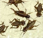 A Crash Course on How to Get Rid of Crickets by Ed Padilla