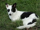 Canaan Dogs for Beginners by Edmund Doyle