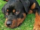Rottweilers for Beginners by Ryder Travolta