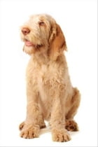 Spinone Italianos for Beginners by Alice Marnier