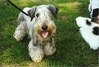 Cesky Terriers for Beginners by Anna Fitzgerald