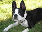 Boston Terriers for Beginners by Sara Fitzgerald