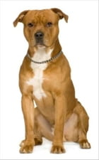 A Beginners Guide to American Staffordshire Terriers by Harry Roosevelt