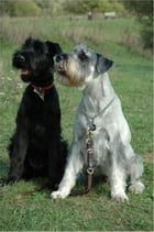 Standard Schnauzers for Beginners by Walter Garber