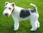 Wire Fox Terriers for Beginners by Michelle Ashley