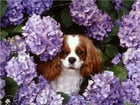 Cavalier King Charles Spaniels for Beginners by Sara Fitzgerald
