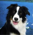 A Beginners Guide to Border Collies by Michael Nantz