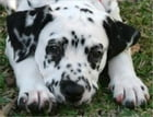A Beginners Guide to Dalmatians by Paul Gronke