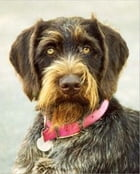 A Beginners Guide to German Wirehaired Pointers by Terence Bellafiore