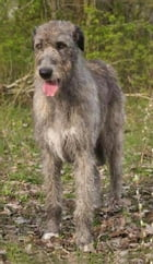 Irish Wolfhounds for Beginners by Marty Klein