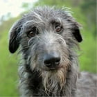 Scottish Deerhounds for Beginners by Alice Marnier