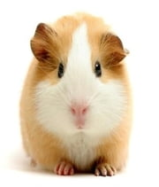 Guinea Pig Care: An Essential Guide to Caring For Your New Guinea Pig ebook by Will Keller