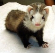 How To Care For Your Pet Ferret ebook by Vitaly Orlov