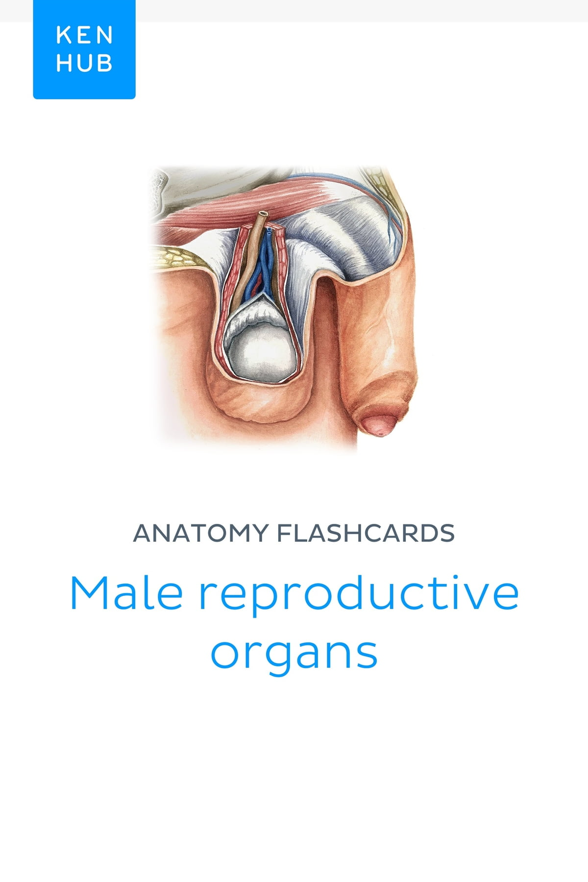 Anatomy Flashcards Male Reproductive Organs Ebook By Kenhub