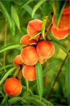 Growing Peaches for Beginners ebook by Jane Greeley