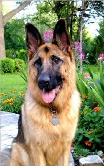 German Shepherds for Beginners ebook by Griffin Keyes