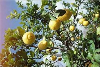 How to Grow a Lemon Tree ebook by Cubby Barnes