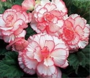 Growing Begonias For Beginners ebook by Royce Niffenegger