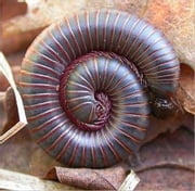 A Crash Course on How to Get Rid of Millipedes ebook by Steve Reeves